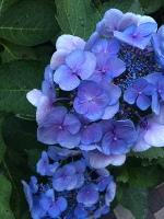 紫陽花とらんちゃん❤️